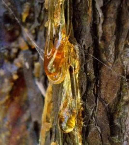 Кедровая живица: польза и вред, как принимать