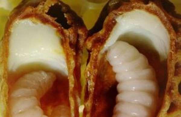 Пчелиное маточное молочко: польза и вред, применение, противопоказания