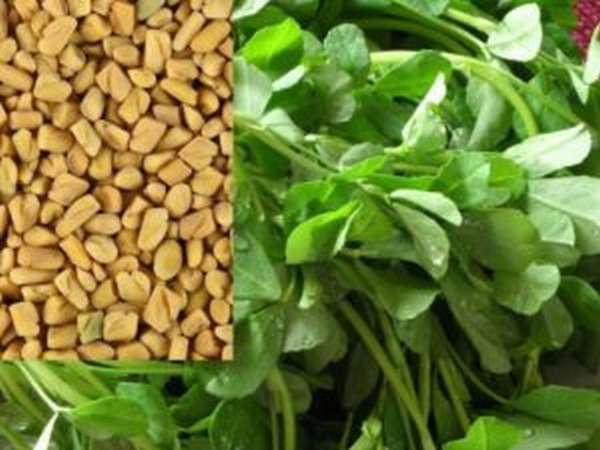 Пажитник (хельба): что это за растение, польза, лечебные свойства, фото