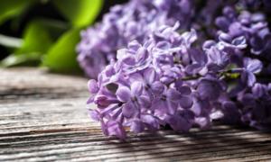 Сирень: свойства и противопоказания, от чего помогает настойка