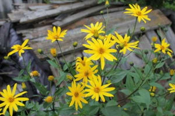 Сироп топинамбура: польза и вред, как принимать
