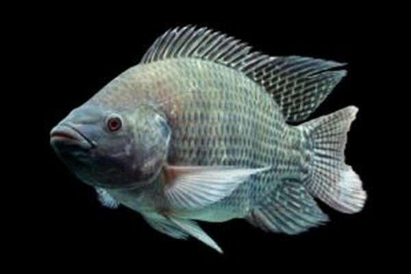 Рыба телапия или тилапия