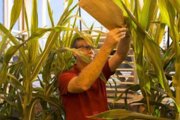 Чем опасно ГМО, что это такое, влияние на здоровье человека
