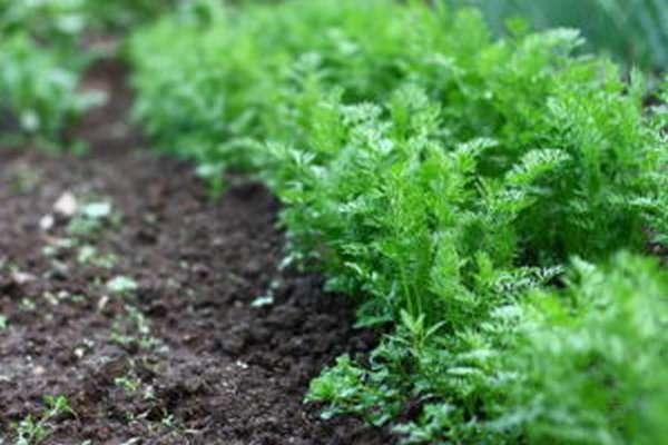 Ботва моркови: польза и вред, полезные свойства, противопоказания
