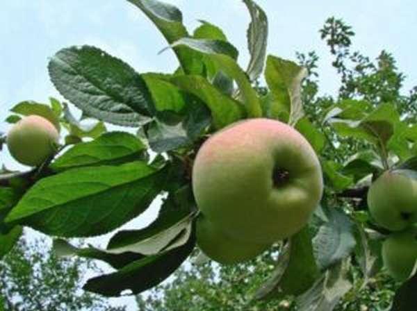 Чем полезен яблочный сок, как его приготовить и пить