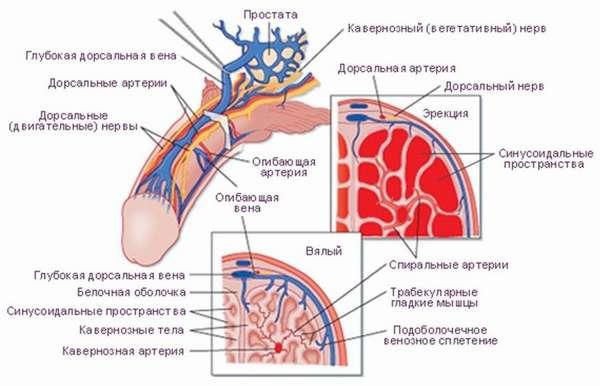 Эмбриология, анатомия и физиология мужской половой системы