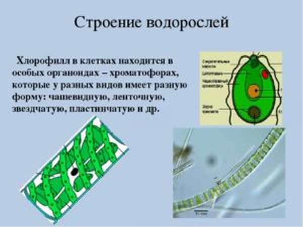 Хлорофилл: полезные свойства, как принимать