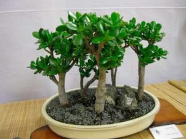 Денежное дерево (толстянка): полезные и целебные свойства, противопоказания