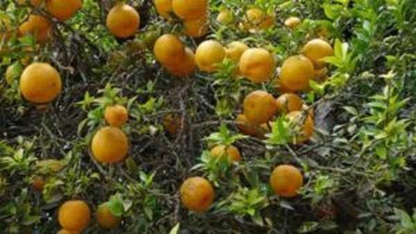 Трава бергамот: полезные свойства и противопоказания, фото и описание
