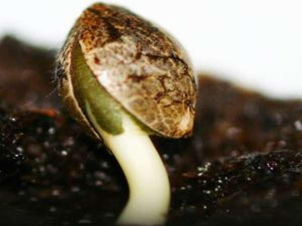 Семена конопли: польза и вред, как прорастить, как выглядят, фото