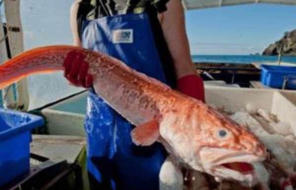 Рыба конгрио (кинг клип): польза и вред, фото, отзывы