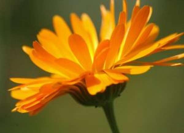 Календула: полезные свойства и противопоказания, от чего помогает