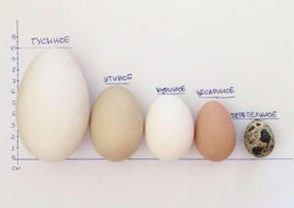 Сколько варить цесариные яйца - Птичий Двор