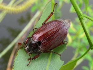 Чем вреден майский жук и как с ним бороться