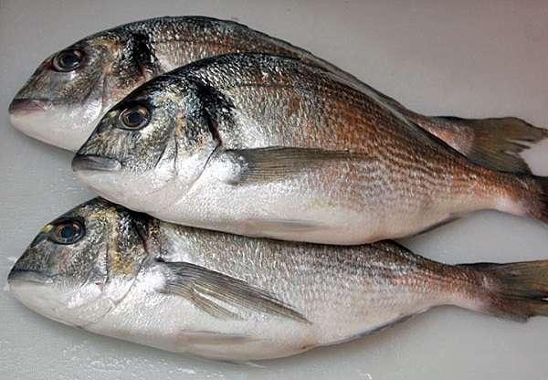 Как поймать рыбу Дорада (Sparus aurata) - где и на что ловить эту рыбу в Средиземном море