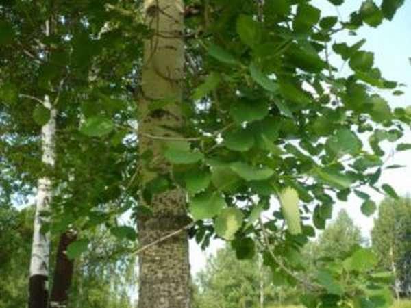 От чего помогает кора осины, полезные свойства и противопоказания