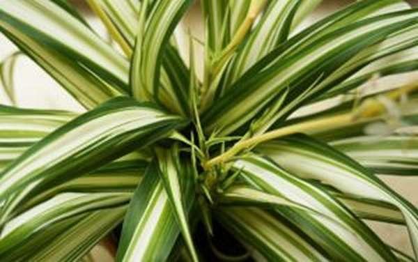 Хлорофитум: полезные свойства, можно ли держать дома
