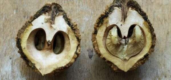 Черный орех: польза и вред, применение и фото