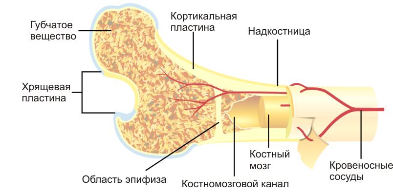 Ускорить регенерацию костной мозоли