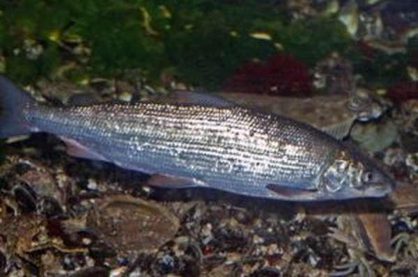 Рыба сиг: полезные свойства и приготовление